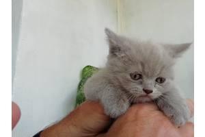 Продам кошенят британцiв