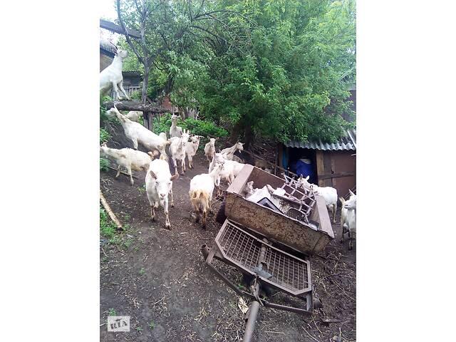 купить бу продам коз голанской породы в Лебедине