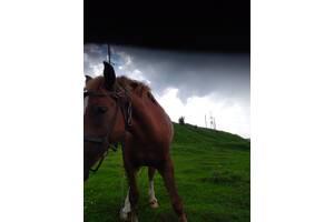 Продам лошадь,возраст 2 года