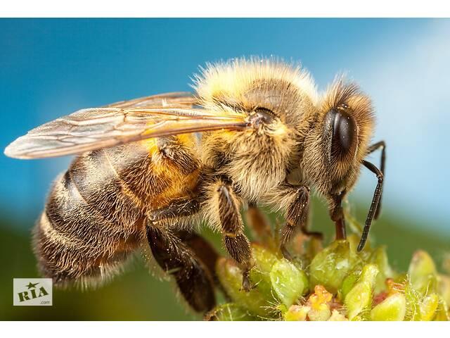 купить бу Продам Пчелы в Черновцах