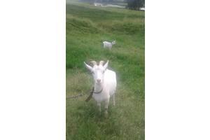 Продам  первистку  козу  з козыням   мама  из  доцую.