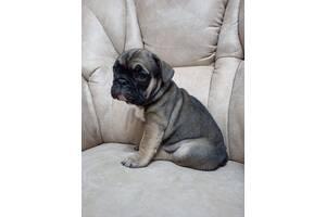 продам щенка французкого бульдога
