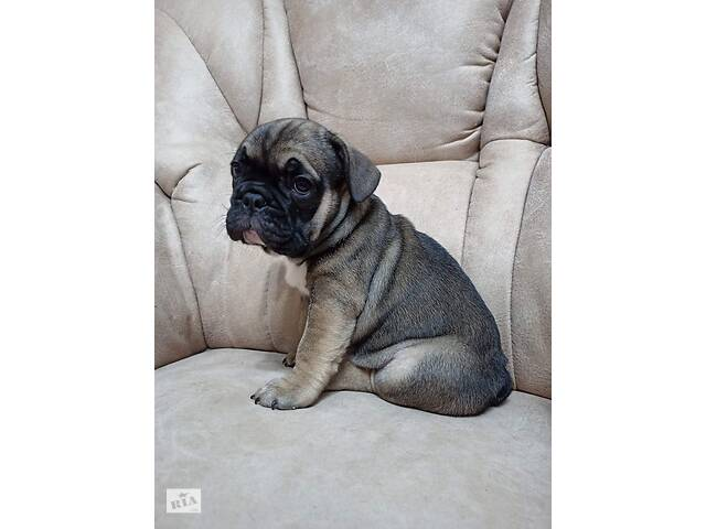 продам щенка французкого бульдога- объявление о продаже  в Николаеве
