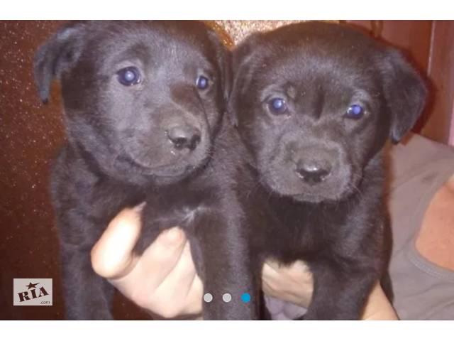 Продам щенков лабрадора.- объявление о продаже   в Украине