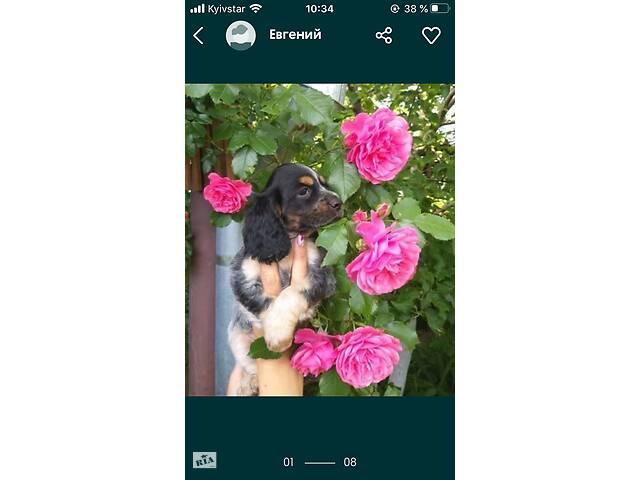 продам Продам щенков Спаниеля бу в Житомире