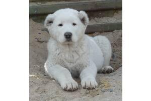 Продам цуценят (щенят) САО, среднеазиатская овчарка (алабай) з родоводом КСУ