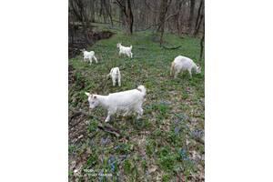 Продаются дойные козы