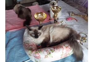 Продажа клубных котят порода Невская маскарадная