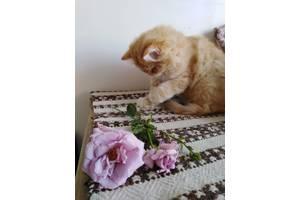 Рыжий персидский котик