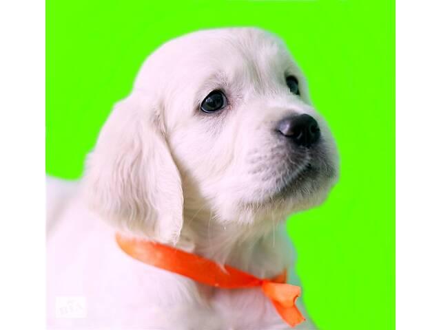 купить бу Видео! Идеальная собака для всей семьи, щенки золотистого ретривера элит-класса от Чемпиона. в Киеве