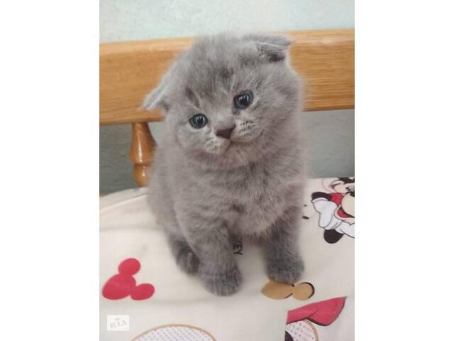 бу Шотландські чистокровні кошенята в Тернополі