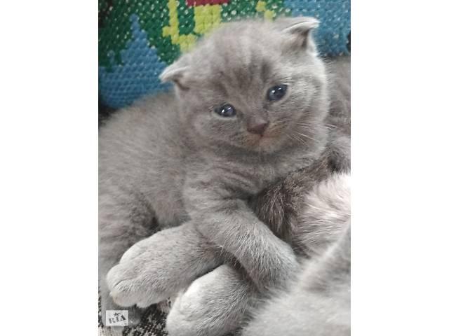 купить бу Шотландські весловухі і прямовухі кошенята в Тернополе