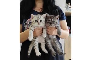 Шотландские вискасные котята