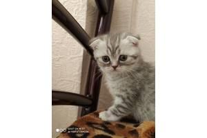 Шотландские вислоухие котята (скотиш фолд)