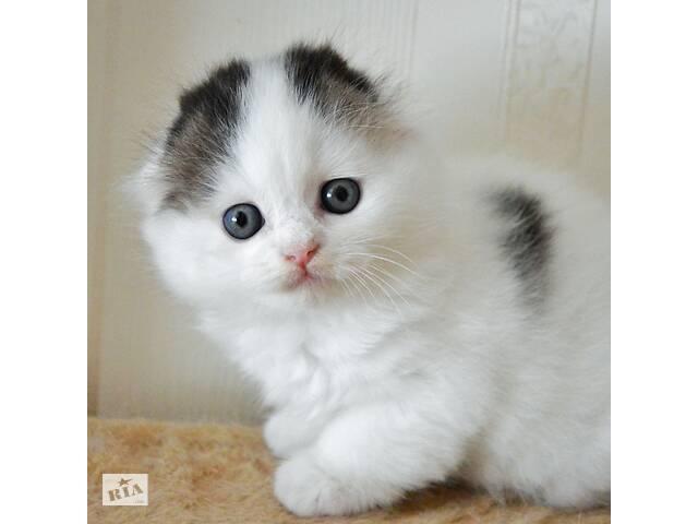 продам Шотландские вислоухие котята бу в Хмельницком
