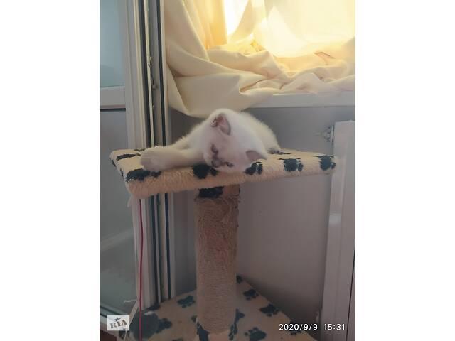 Шотландский котенок- объявление о продаже  в Днепре (Днепропетровск)