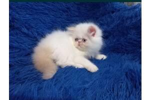 Шикарние персидские котята срочно