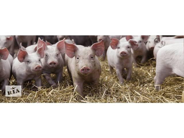 купить бу Свині, поросята породи: Петрен, Хамшир, Оптімус в Млинове