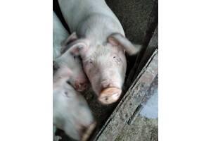 Продаются свиньи