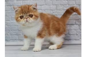 Великолепный котёнок породы Экзот