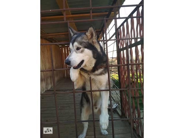 купить бу Вязка аляскинский маламут  в Украине