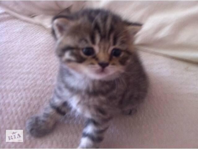 бу породистый шотландский котенок-ласковый подарок в Киеве
