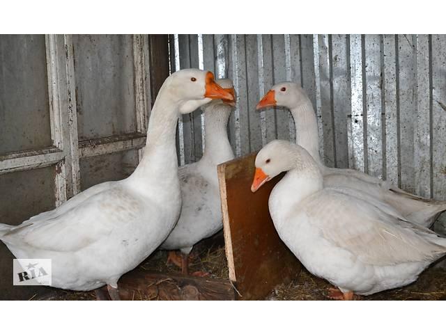 продам Инкубационные яйца Белая Линда. бу в Хмельницком