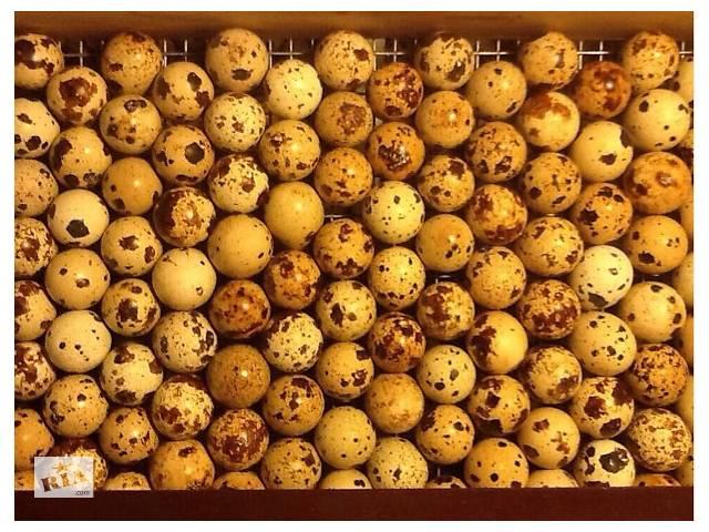 продам Инкубационные яйца перепела Техасский Супер Бройлер (Киев) бу в Киеве