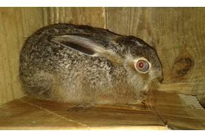 Заєць русак.
