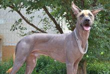Мексиканская голая собака (Ксолоцкуинтли)