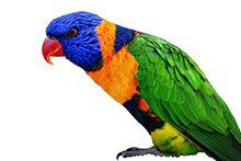 Папуга Лорі