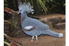 Декоративные голуби